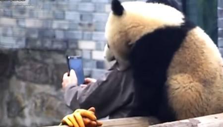 """熊猫上演""""碰瓷""""戏码 摔倒了要喝奶才起来"""