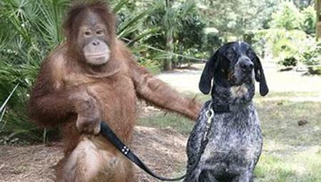 简直是绝了 连猩猩都能遛狗了