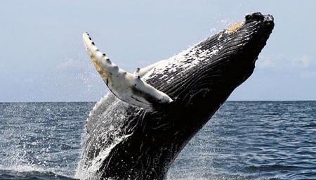 实拍巨大座头鲸突然紧贴小船跃出水 捕鱼者吓傻了