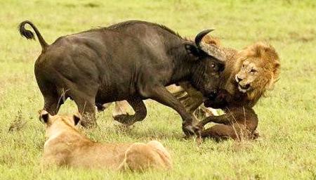 实拍狮子被野牛顶成重伤