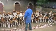 120只猎犬集体进食 训练有素场面壮观