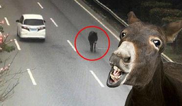毛驴因受惊马路逆行