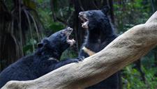 美国女游客森林中突遇两黑熊拦路啃腿 淡定面对