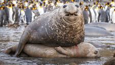 四吨重海豹求欢压趴女友