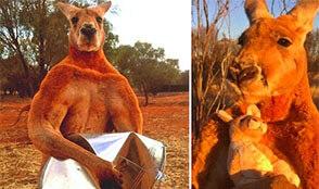 澳洲肌肉袋鼠徒手捏铁桶 却偏偏有颗少女心