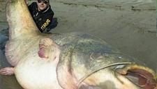 意大利男子钓起242斤巨无霸鲶鱼 体长近3米