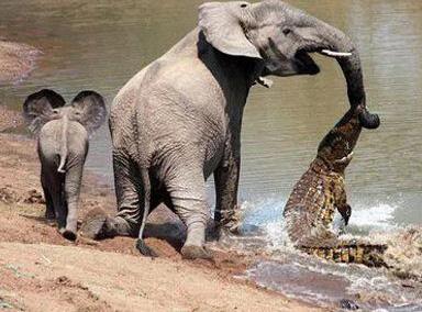 """大象被鳄鱼偷袭 不料直接被""""怼翻""""!"""