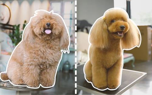 发型决定颜值,邋遢的贵宾狗狗美容后成小公举!狗:你是谁?