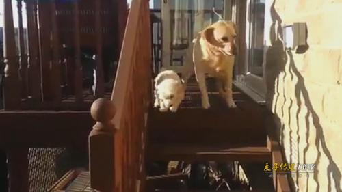 实拍拉布拉多不敢下楼梯 小伙伴狗狗现场示范温馨感人