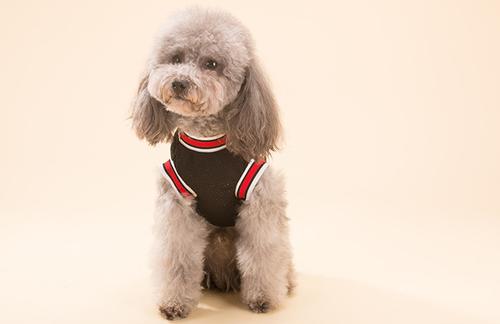 如何训练调皮的泰迪犬?教你正确驯养泰迪犬
