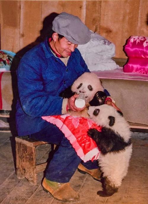 """野生大熊猫的""""御用""""摄影师,用36年记录人与熊猫"""