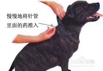 怎么给狗打针肌肉注射