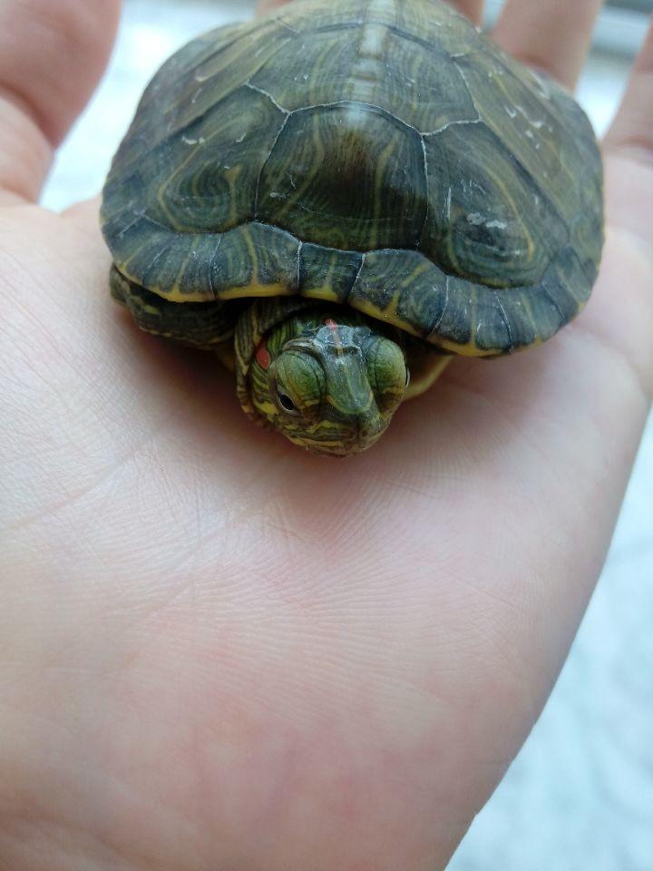 乌龟白眼病怎么办 小乌龟白眼病怎么治 乌龟白眼病怎么治