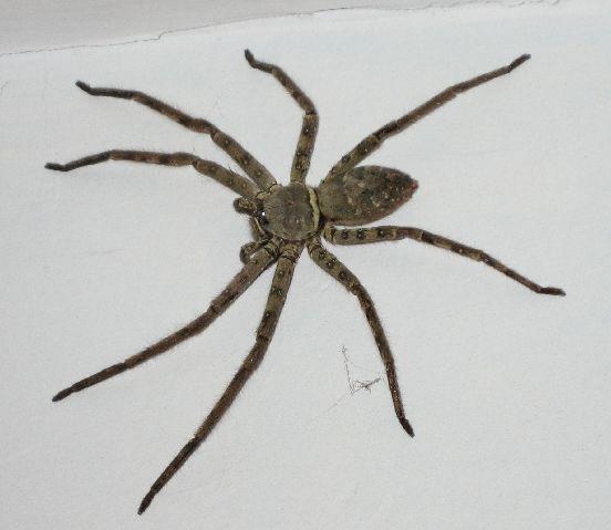 家里有这种蜘蛛 有毒吗_百度知道