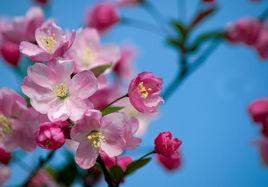 四季秋海棠花期