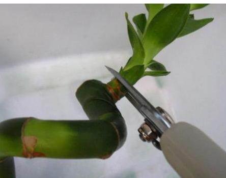 水养富贵竹怎么修剪