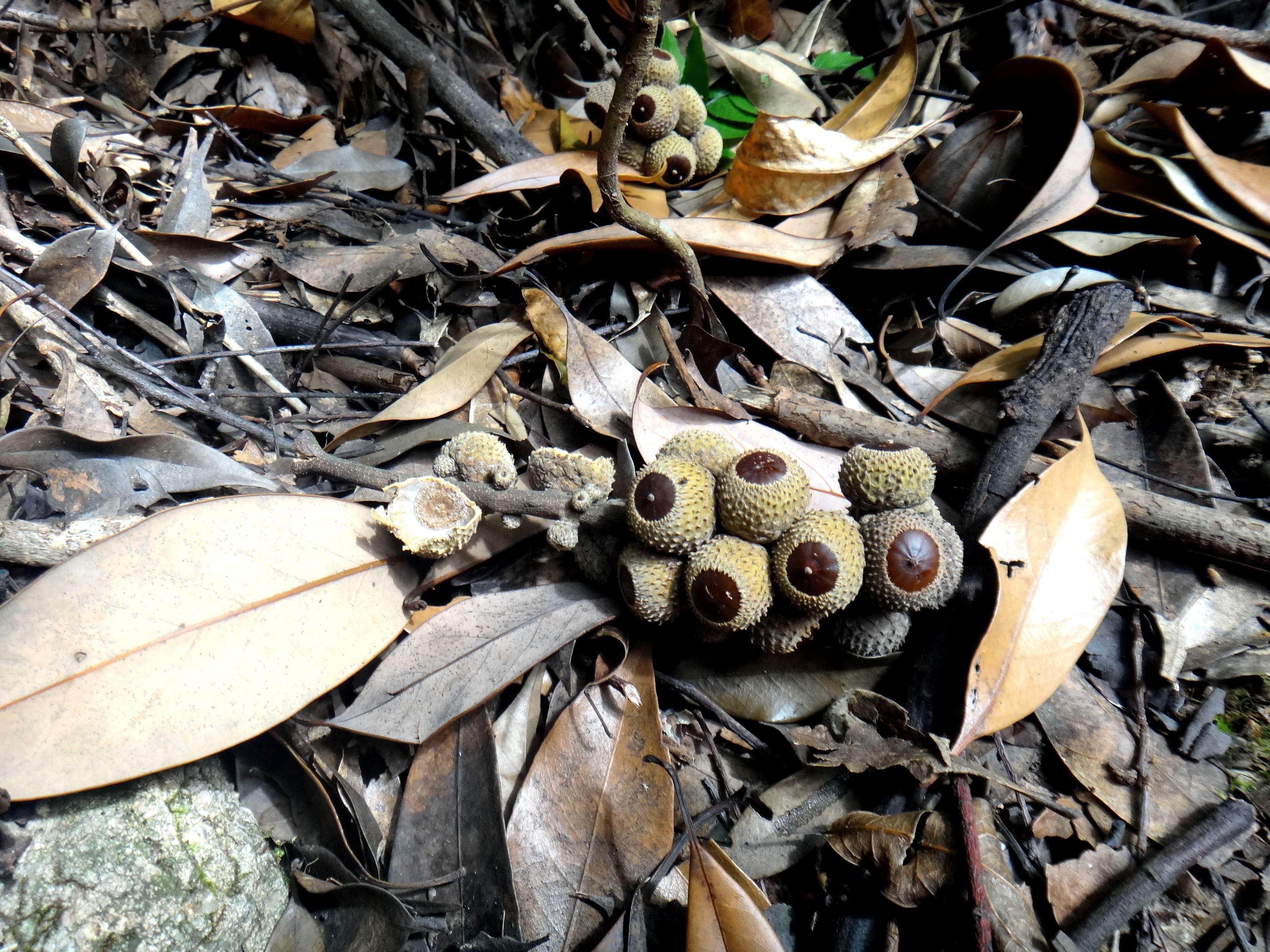 黄色大鸡巴囹�a_植物--很像小板栗,或像榛了,到底是什么?
