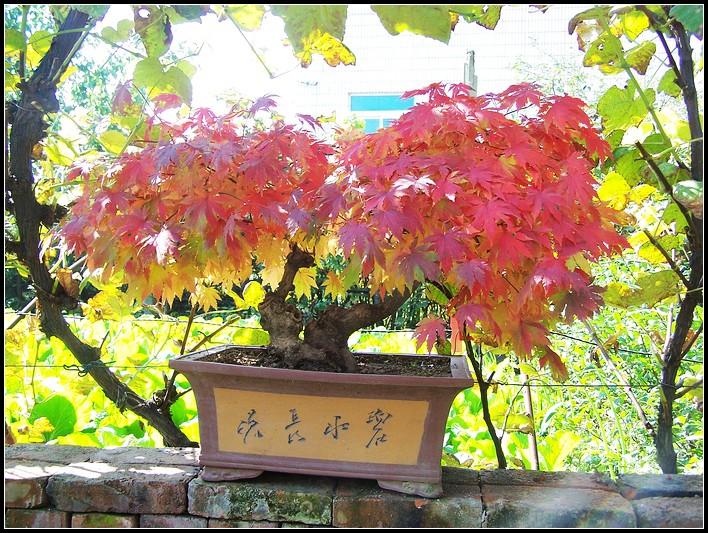 枫树的养殖方法