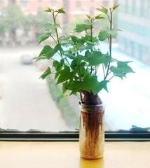 水中种红薯的生长过程