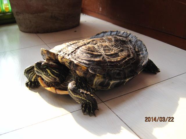 家养乌龟分类及鉴别 适合家养的乌龟 家养乌龟