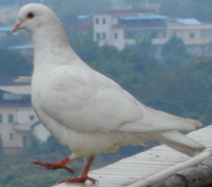 大象鸽鸟类鸟鸽子855_754孙越在动物园喂动物图片