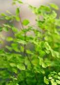 蕨类植物盆景
