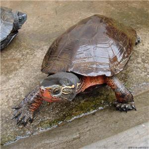 黑颈龟为什么这么贵