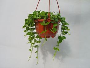绿萝适合什么样的花盆