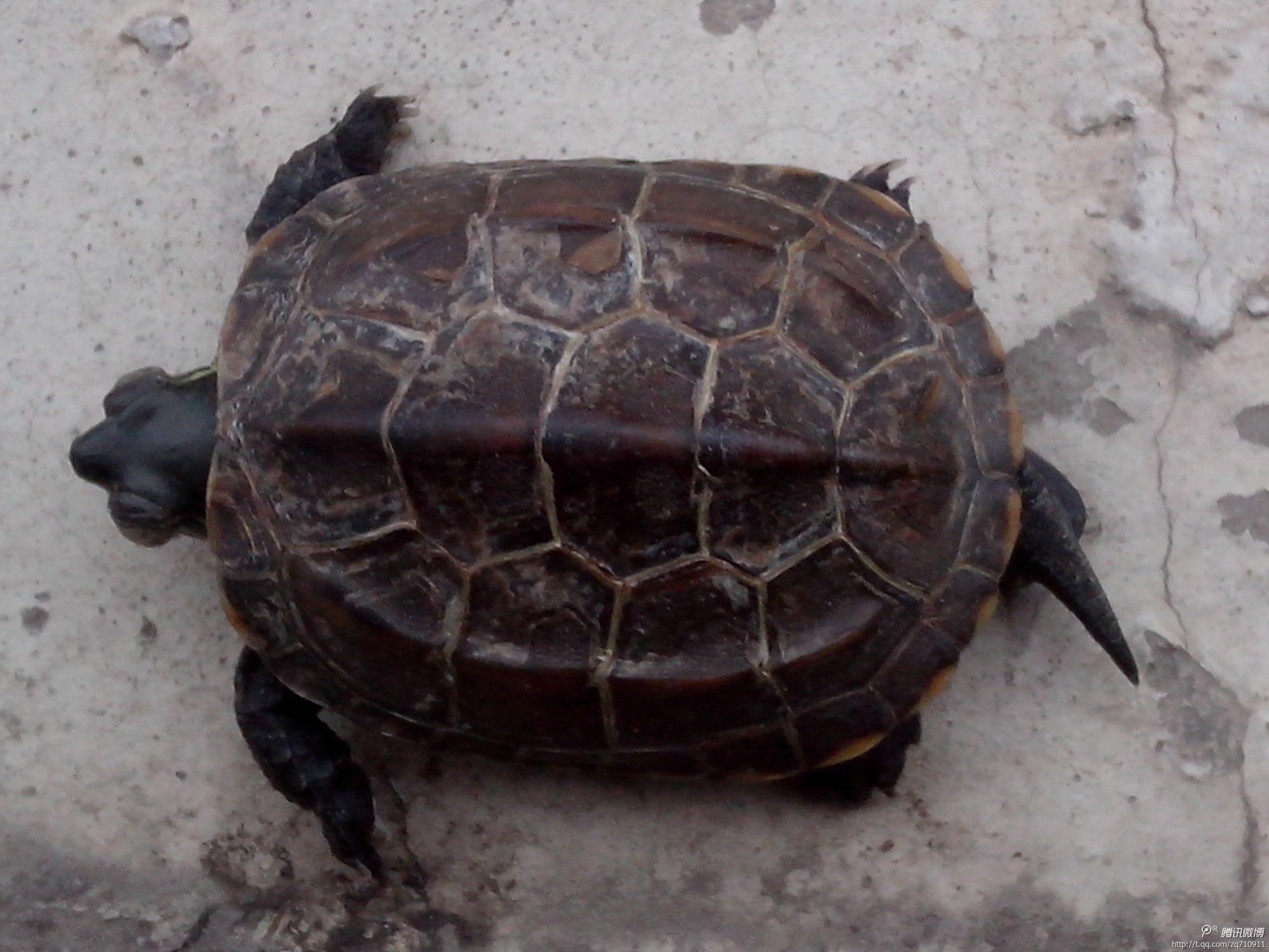 http://t2.qpic.cn/mblogpic/9166f569df8393bd4764/2000_qpic.cn/mblogpic/a8d3198770626b86e5ee/2000,这是什么品种的乌龟?