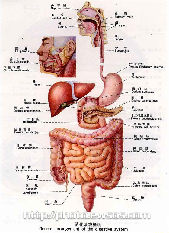 人体内脏分布构图_求一张男性人体内脏高清图,要那种能放大了都可以看清楚字的,越详细
