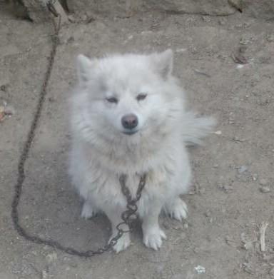 卖萨摩耶犬200一只