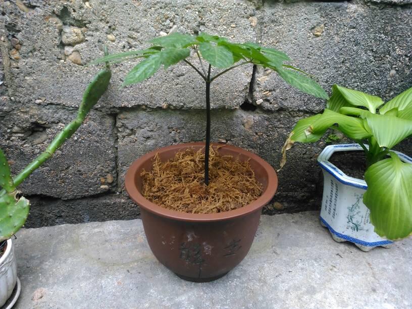 盆栽三七_阳台上可以盆栽哪些名贵中草药?