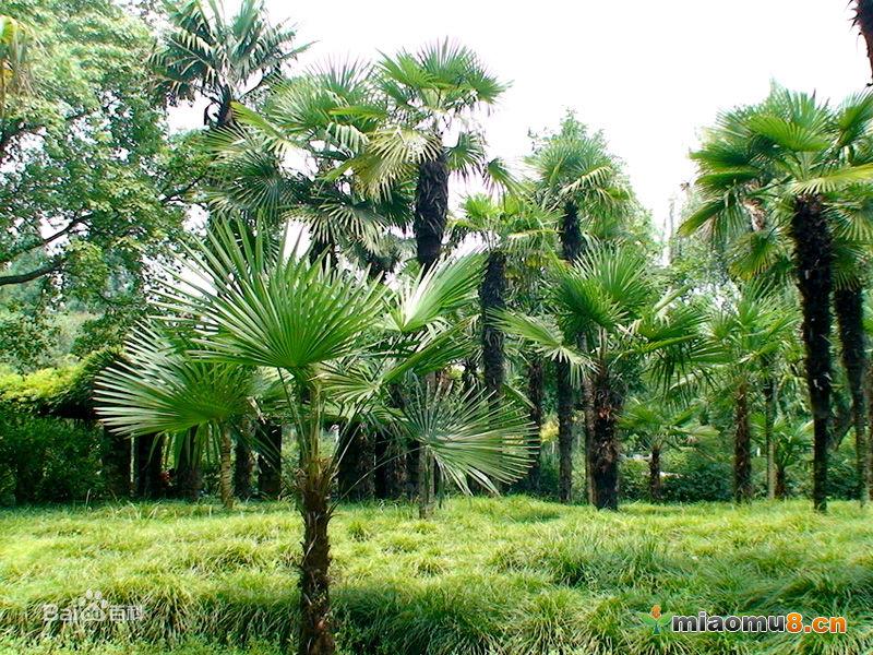 棕榈的特点是什么