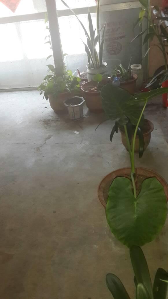 橡皮树芝麻里长了很多小虫,有点像小花盆,有半个白色粒猪肉,大小,有的扎蜘蛛图片