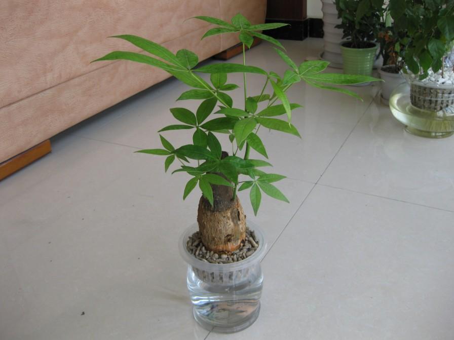 发财树的水养繁殖方法