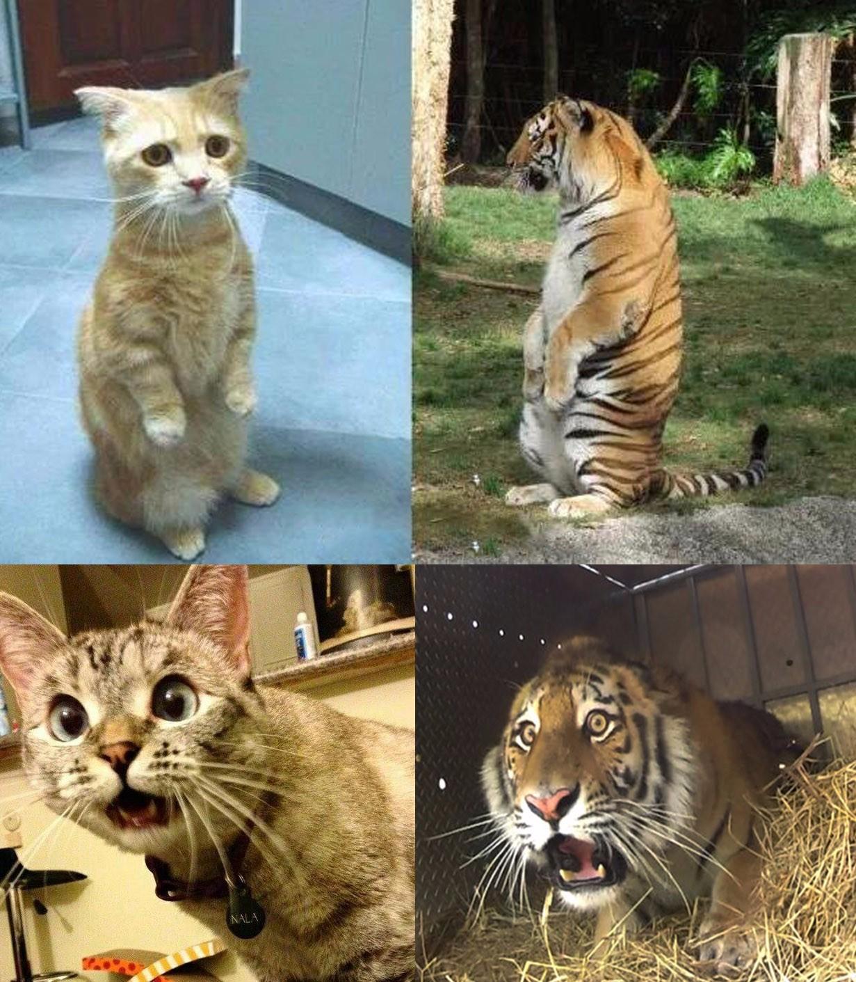 猫咪和老虎