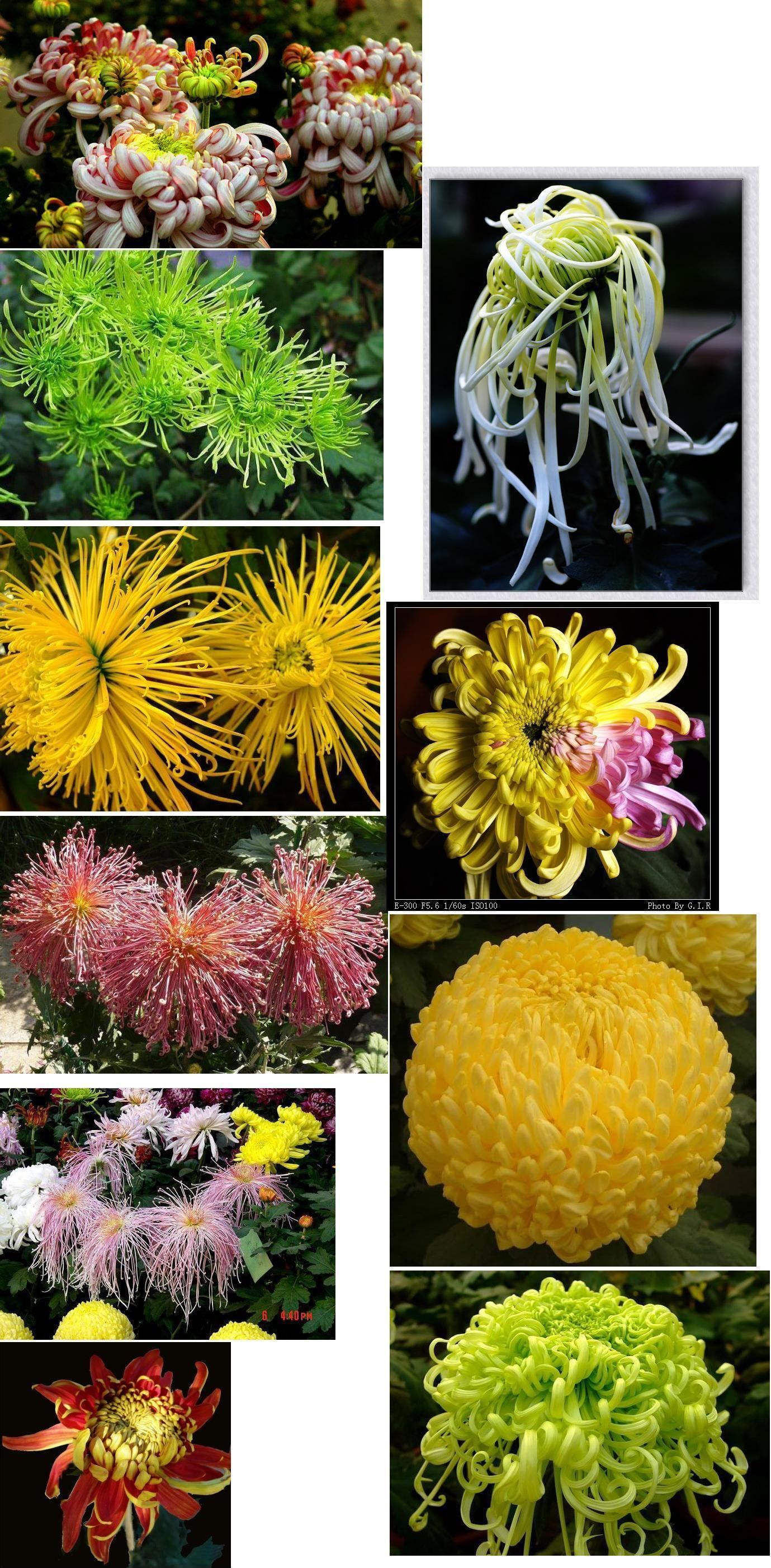 颜色的菊花