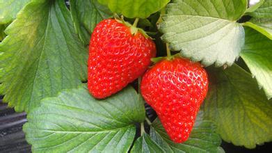 草莓叶子的特点