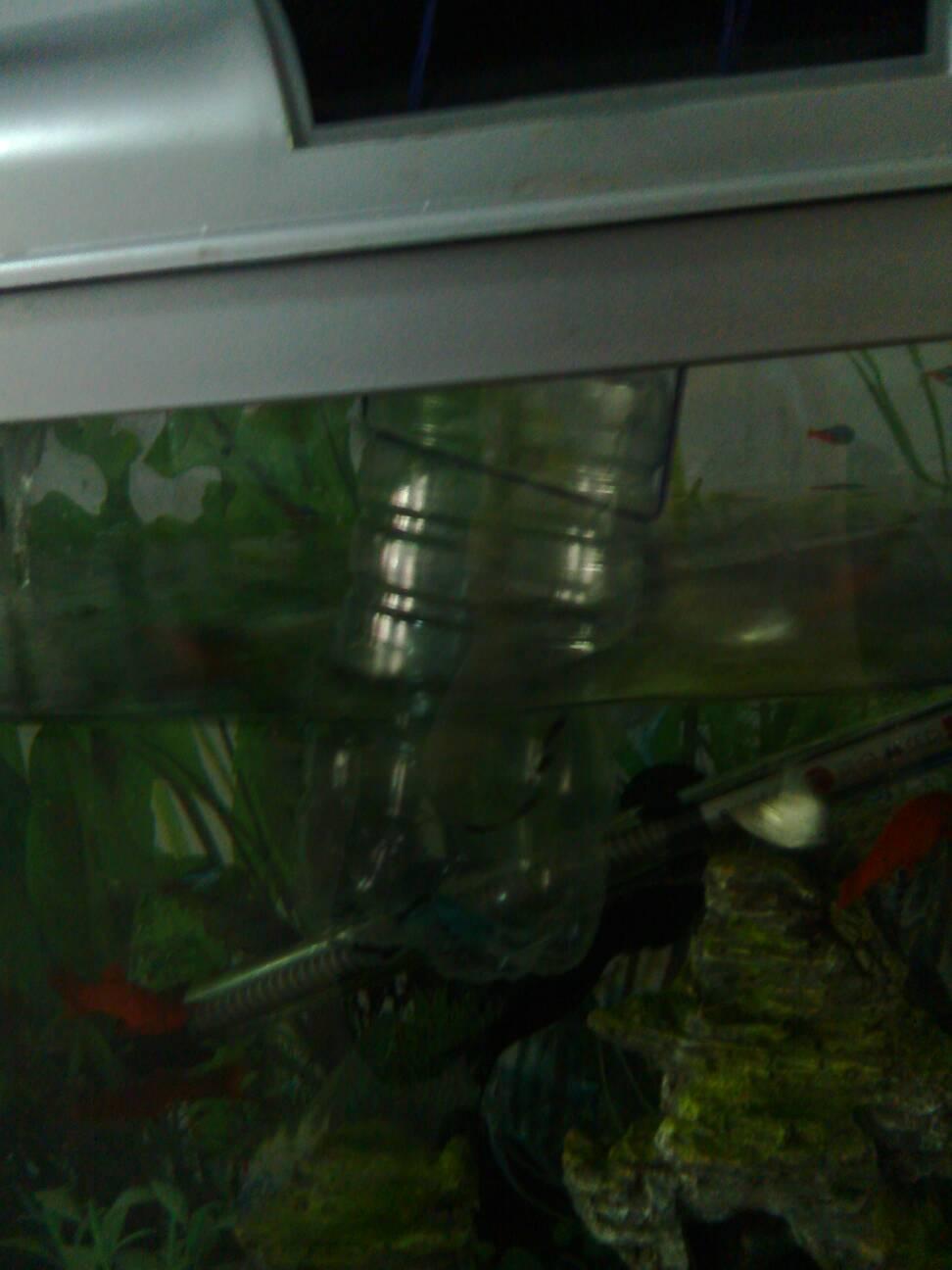 黒玛丽下崽了我把幼崽各矿泉水瓶里了室内温度太低我就把瓶子浮在鱼缸