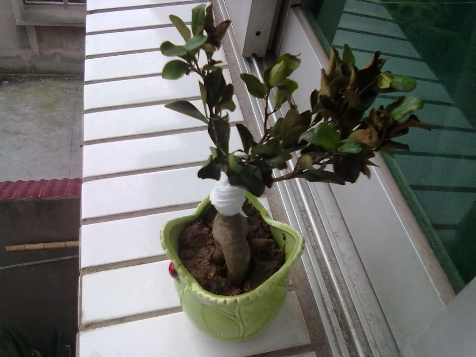 招财树盆栽断了怎么办 高清图片