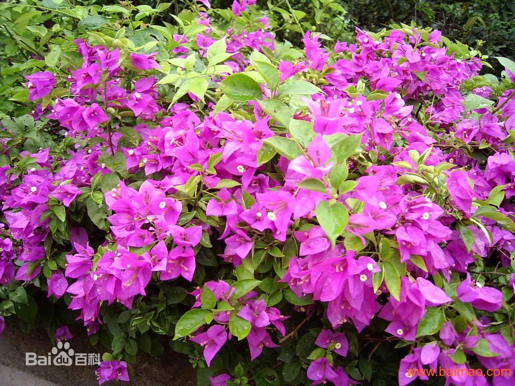 紫色三角梅什么品种