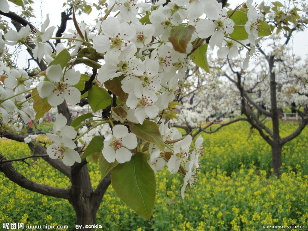 梨树的叶子长啥样