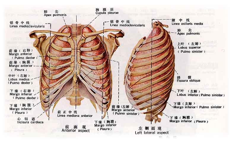 心脏在右边还是左边,右边胸口疼是什么原因,心脏位置图片图片