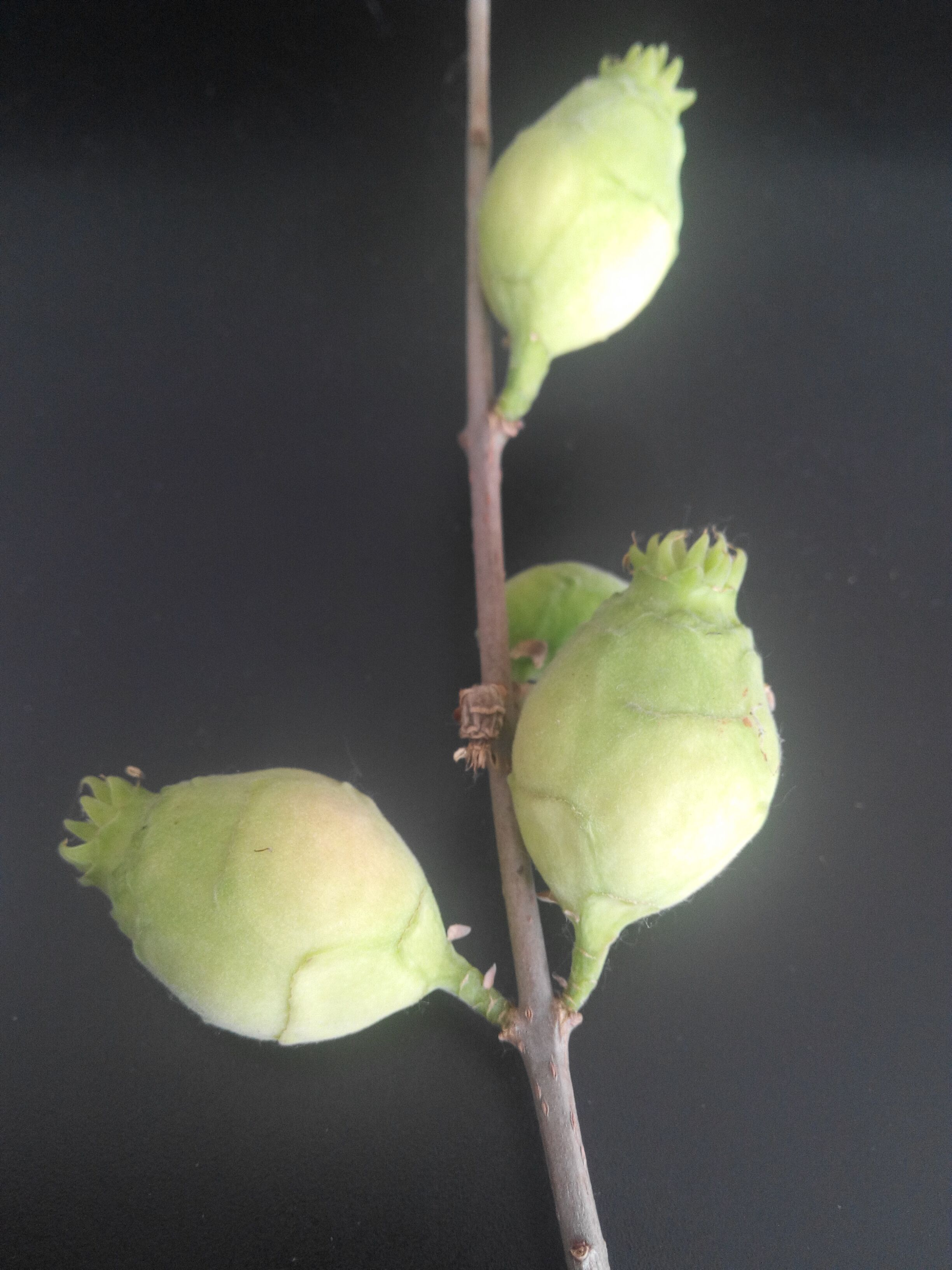 梅花的果实叫什么