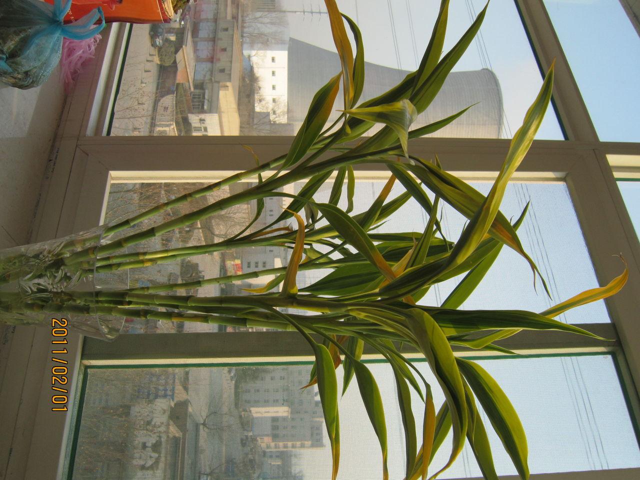 水养的竹子叶子黄了怎么办?