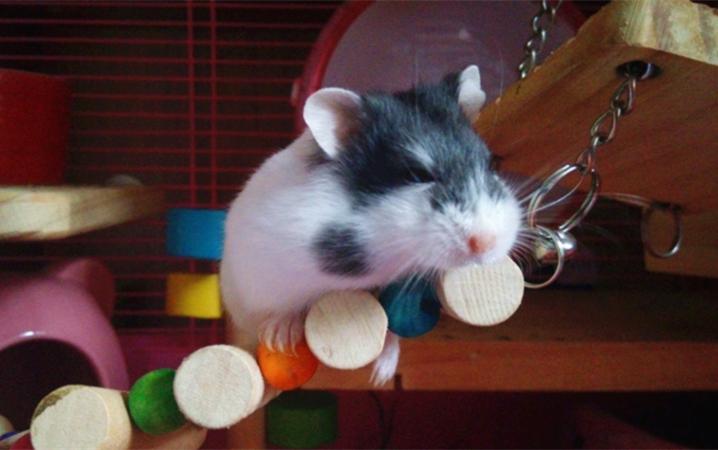 零食粮平时不喂含糖主粮或者鹦鹉v零食无糖仓鼠:bunny侏儒粮用彩泥做个小食物图片