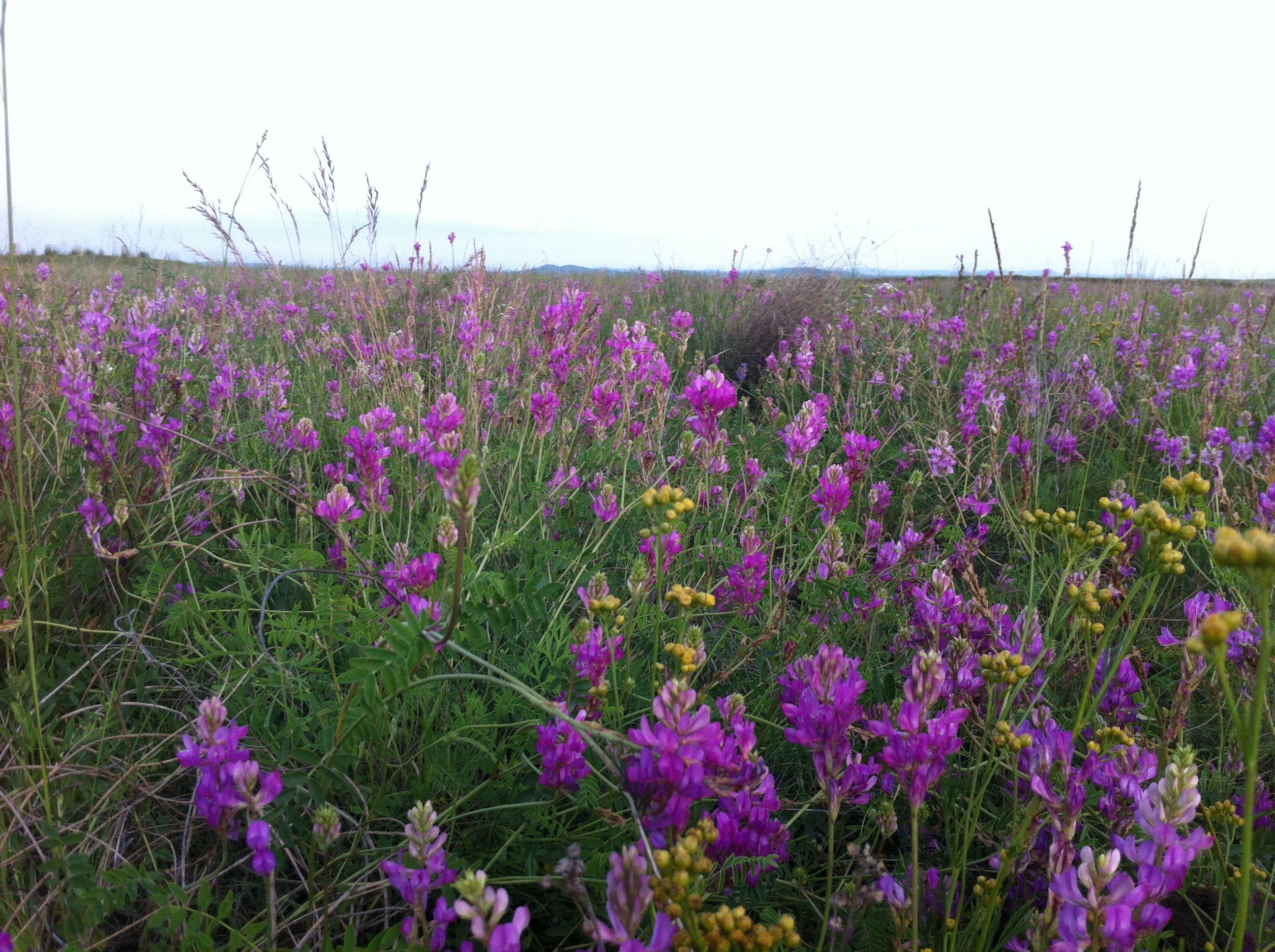 草原上这种花是什么花呢 高清图片
