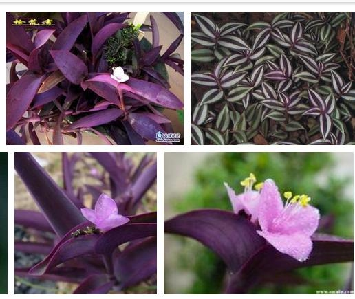 紫竹梅怎么养