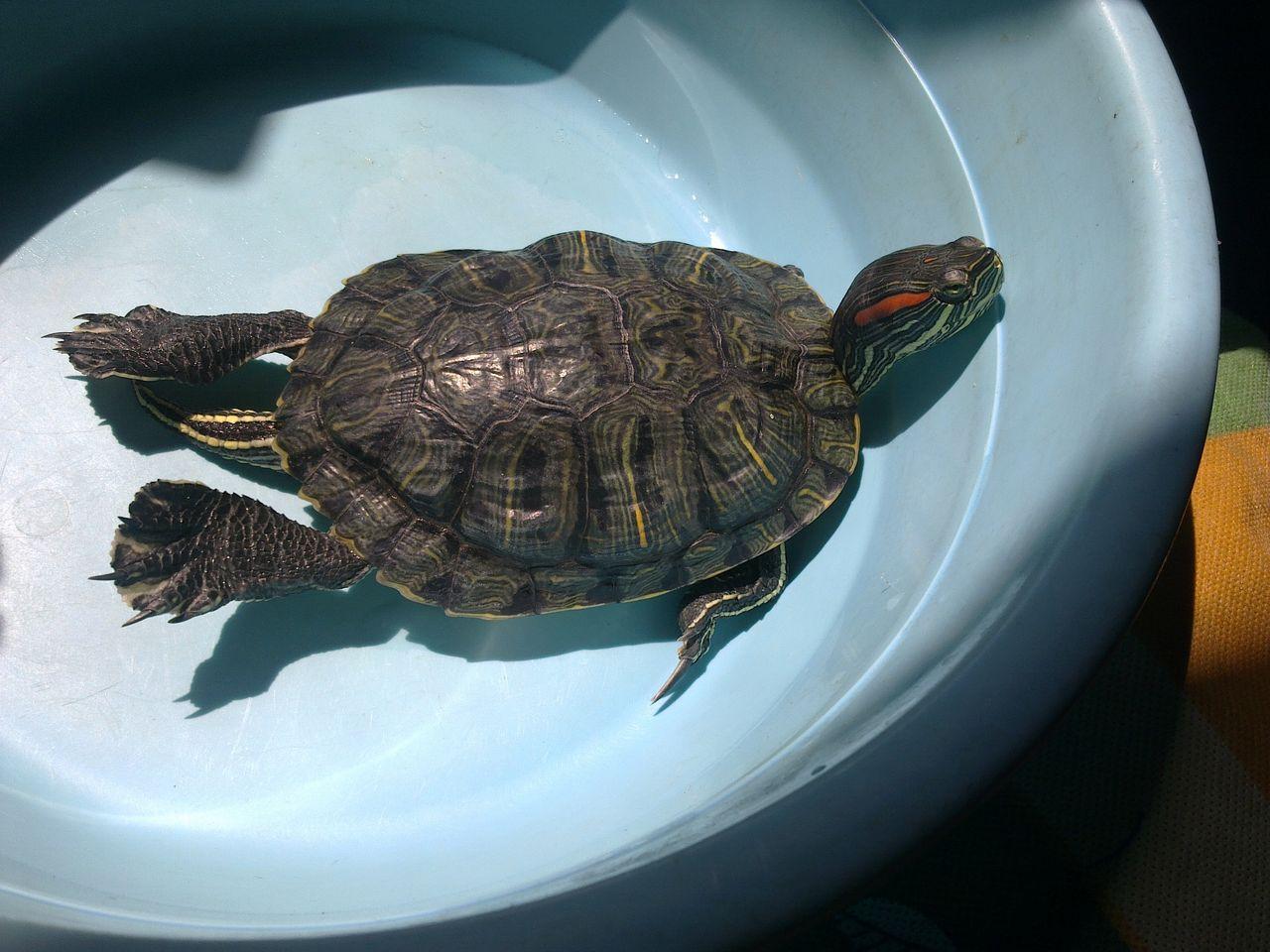 巴西龟白眼病_百度知道