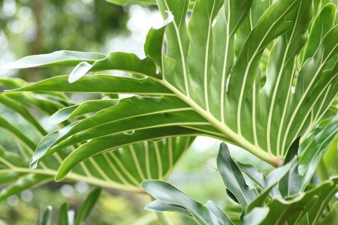 春羽蔓绿绒